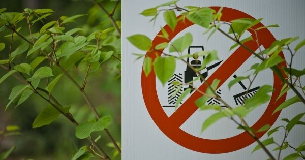 Japanese Knotweed – what is the legal position?
