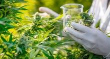 Cannabis: A Promising Future